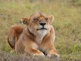 Lion_Maciej-Sudra_2