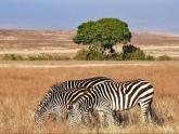 Zebras_Taher-Nassrulla_2