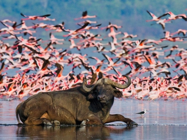 Buffalo lying in the water on the background of big flocks of flamingos. Kenya. Africa. Nakuru National Park. Lake Bogoria National Reserve. An excellent illustration.