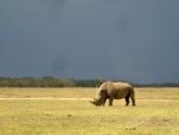 Rhinoceros_Alexander_2