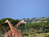 Giraffes_Maciej-Sudra_8