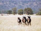 Wildebeest_Maciej-Sudra_12